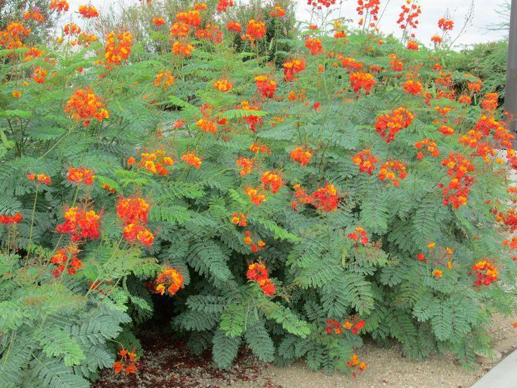 orange flowering bush potential plant caselpina mexican bird of paradise