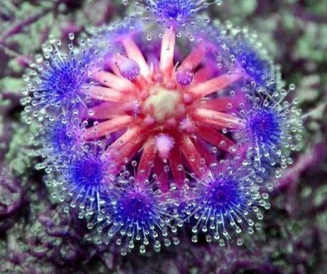Sementes Bonsai sundew azul feiticeira planta carnívora pote mesa Drosera sementes peltata protecção contra as radiações frete grátis 49%