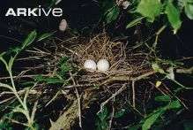 Turtle dove eggs in nest