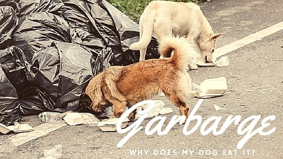 Why Does My Dog Eat Garbage?