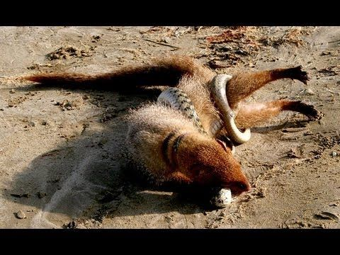 Mongoose vs Black Mamba ! | братья меньшие | Постила