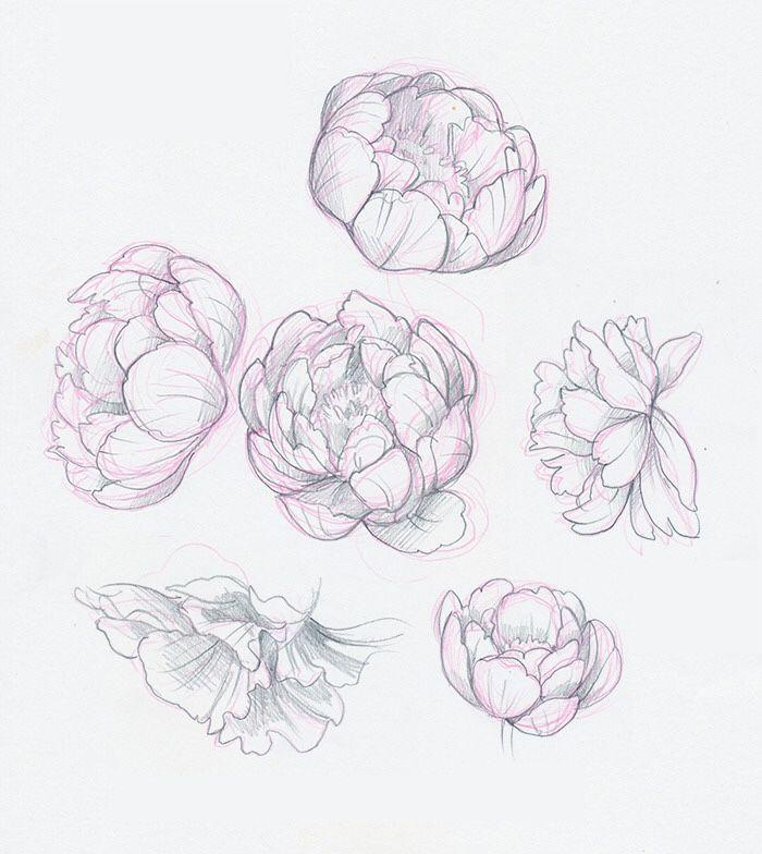 пионы рисунки карандашом простые фотографии