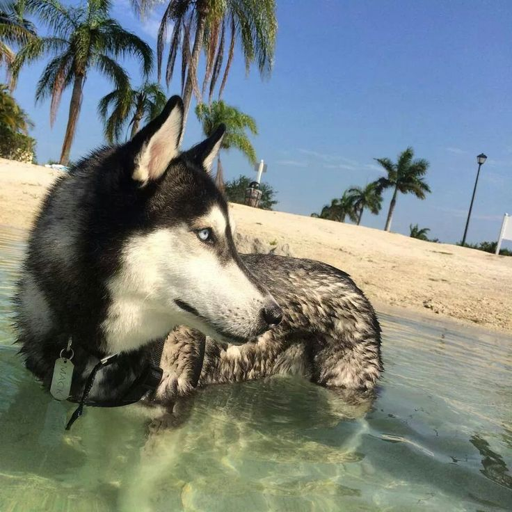 He is a lower mid content wolfdog (50%) mixed with mostly ...  |Black Siberian Husky Wolf Mix