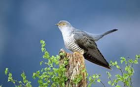 cookoo Image result for english birds on the red list conservation