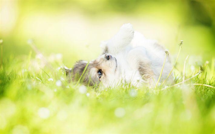 تحميل خلفيات lapphund, الحيوانات لطيف, جرو, الحديقة, الكلاب
