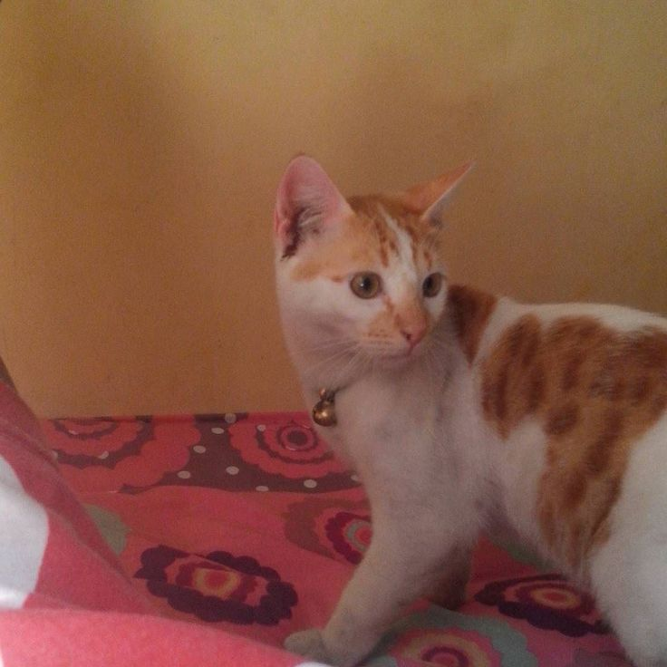 Kucingku si.temon.. #Kucing #kucinglucu #kelakukankucing #bukuharian #bukuhariankucing #kucingcomel #cat #cats #catsforinstagram #follow4follow #f4f by nami_ragdoll