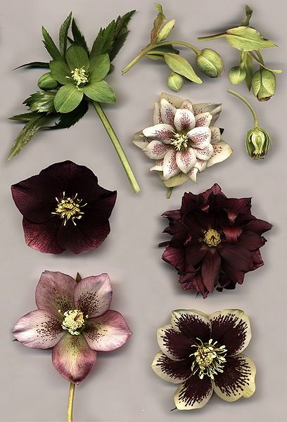 "The Hellibore or ""Christmas Rose."" Another of our fave winter flowers.  They'll be the first to - subtly - bloom in your garden."