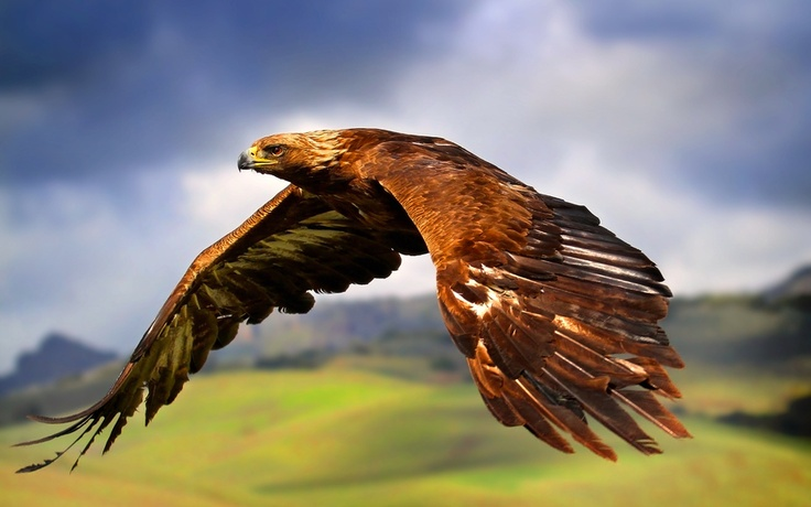 "Golden Eagle. Golden Eagles (Aquila chrysaetos) can be found all over the world, but is one of the two species of eagles that can be found in North America. They are rated ""Least Concerned"" on the IUCN Red List."