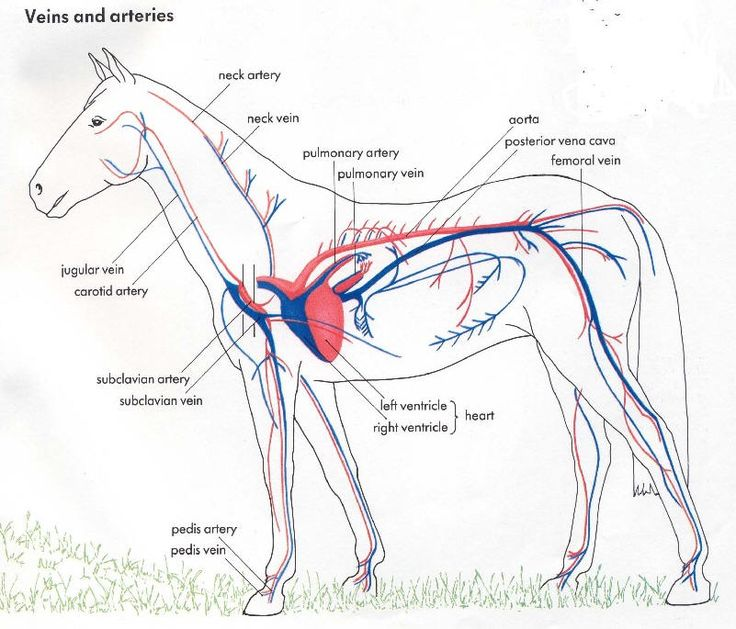 Parts Of A Blank Horse Diagram One Wire Driver Animal+respiratory+system | The Cardiovascular System Animals, Lymphatic Animal ...