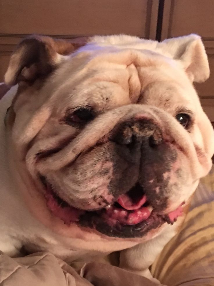 FIONA! What a beautiful smile! Bulldog love!!❤️