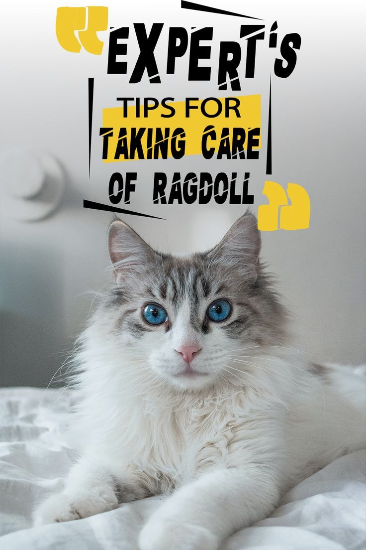 Expert S Tips For Taking Care Of Ragdoll In 2020 Ragdoll Ragdoll Cat Cat Food Brands