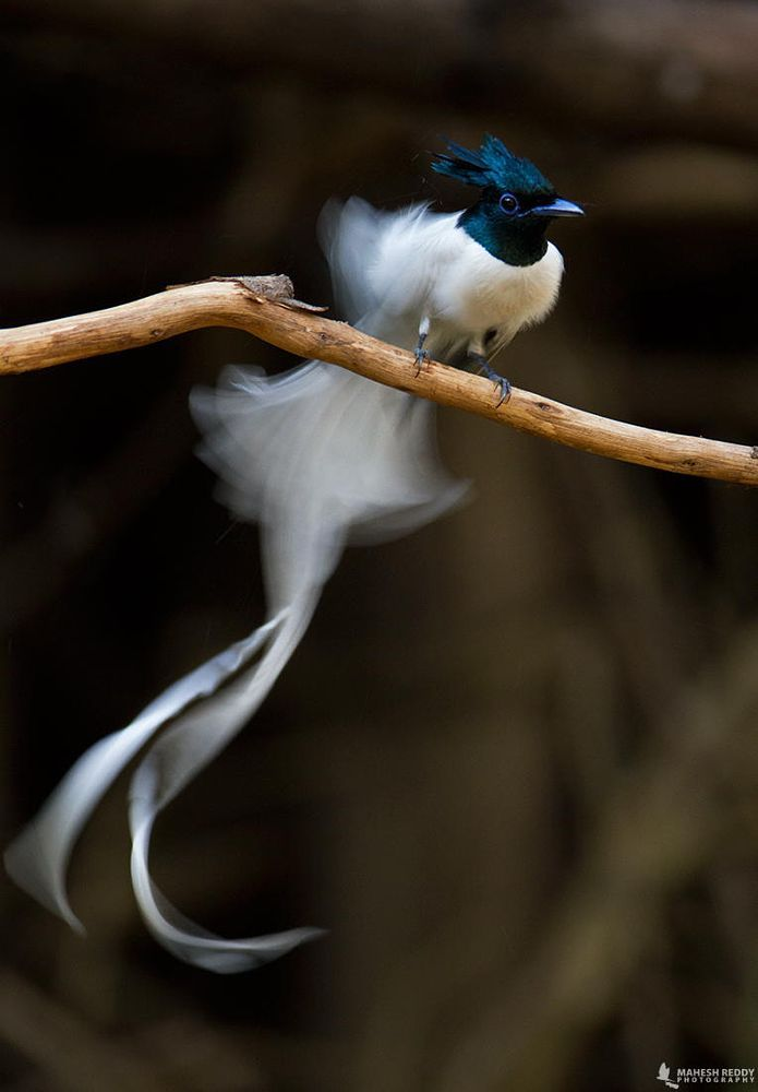 Asian Paradise Flycatcher | Male by Mahesh Reddy on 500px