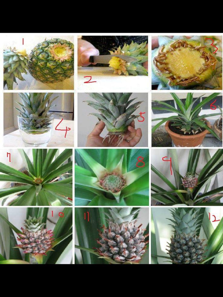 25 Best Ideas About Pineapple Growing On Pinterest