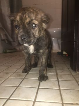 Cane Corso puppy for sale in ATLANTA, GA. ADN-29084 on PuppyFinder.com Gender: Male. Age: 10 Weeks Old