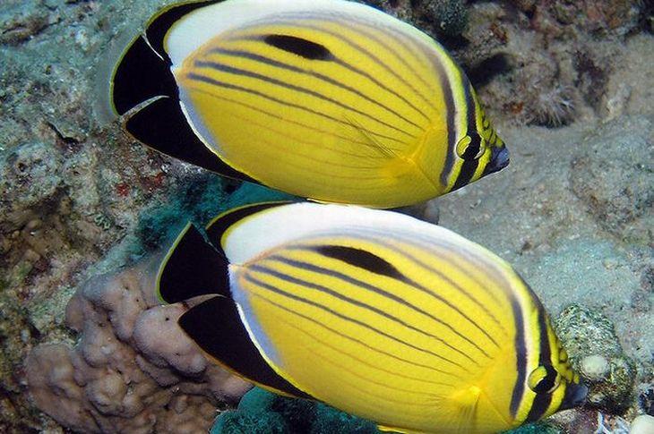 Peixe-Borboleta Amarelo. Esse peixe existe em muitas variantes e nuances. Ele tem esse nome porque muitas dessas variantes exibem formas parecidas com as que são encontradas em borboletas.