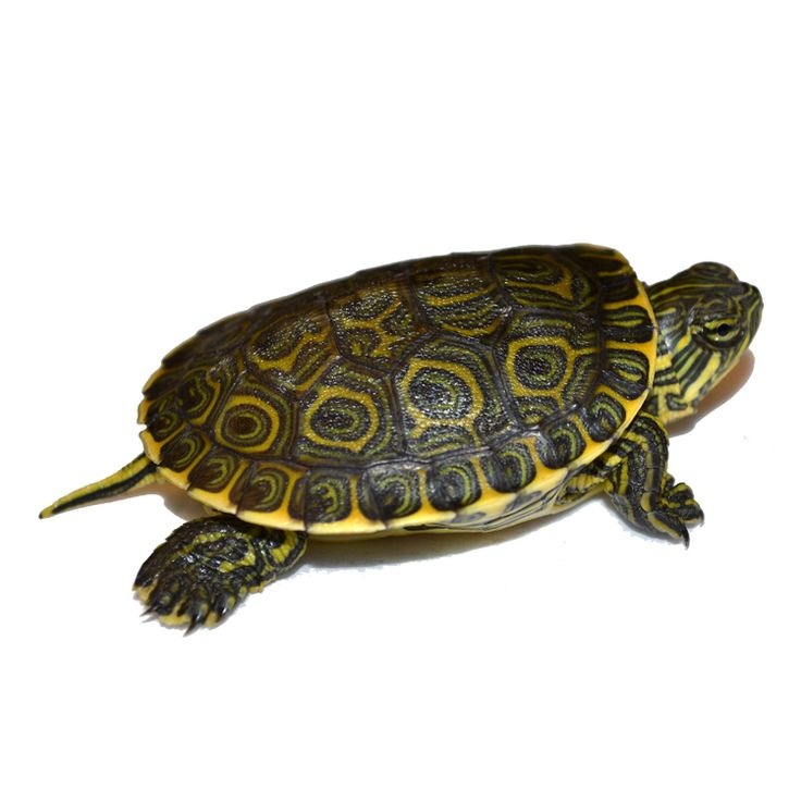 Baby Mexican Slider Turtles for sale   Trachemys venusta