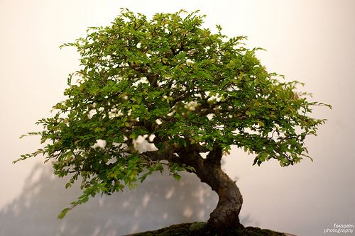 Care for Japanese Zelkova Bonsai - good indoor/outdoor resource