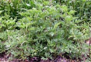 Artemisia (Abrotano o Assenzio) anche per i dolori addominali