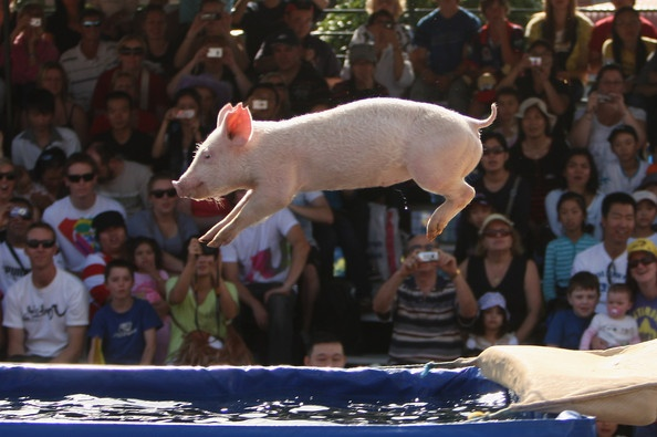 Pig racing at the Royal Sydney Easter show