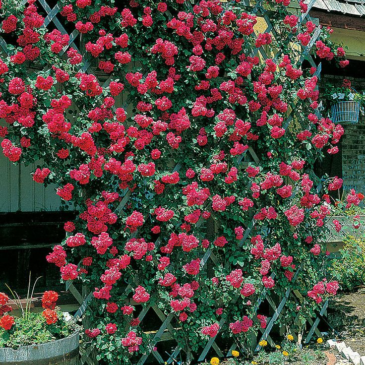37 best images about gardening on pinterest gardens keep in and grey wood - Climbing rose trellis ...