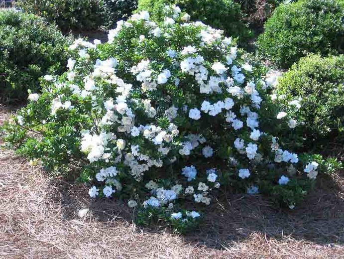 Jasminoides Crown Jewel Cape Jasmine Jasmine Plant Fragrant