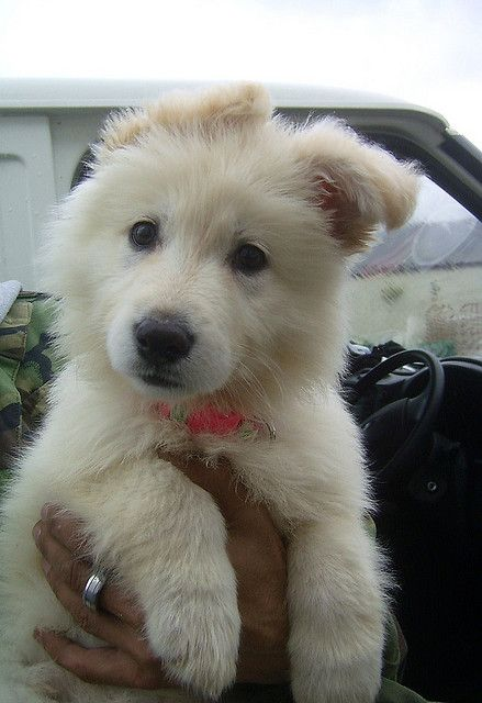 a white german shepherd ... Want!
