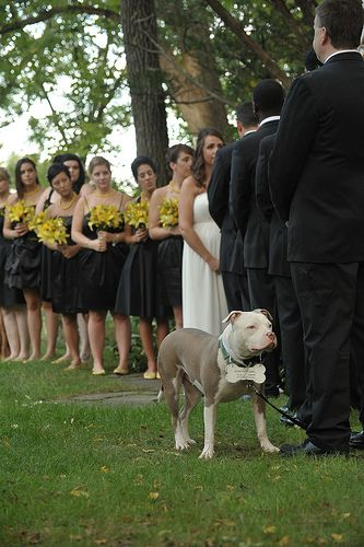 "A beautiful wedding day photo with ""pit bull"" dog and bridal party. This is how ours will be, Roxy carrying the rings down the aisle. :)"