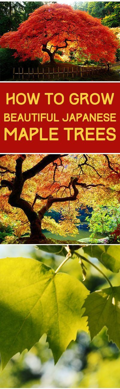 How to Grow Beautiful Japanese Maple Trees