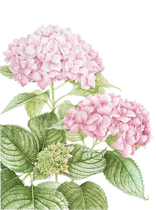 Hydrangea macrophylla, Margaret Best