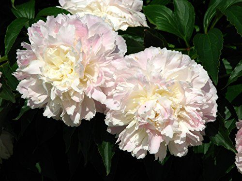 Shirley Temple Bareroot Peony 23 Eye Great for Fall Planting >>> You can find more details by visiting the image link.(This is an Amazon affiliate link and I receive a commission for the sales)