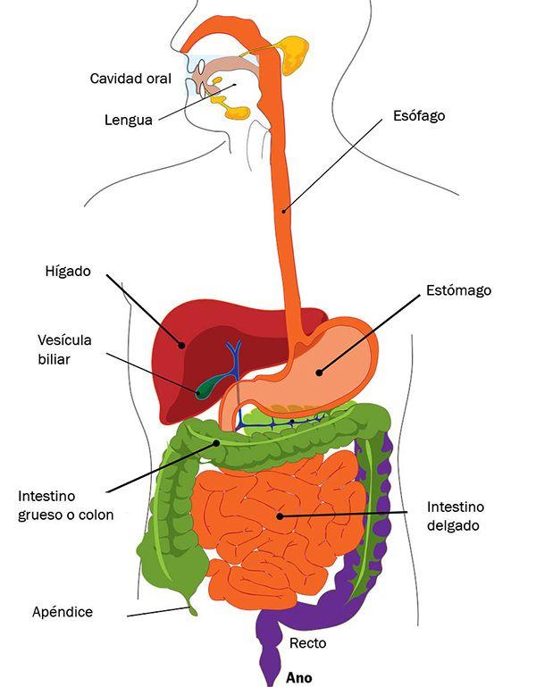Aparato Digestivo Para Niños Explicado Paso A Paso Organos Del Aparato Digestivo Sistema Digestivo Para Niños Aparato Digestivo Humano