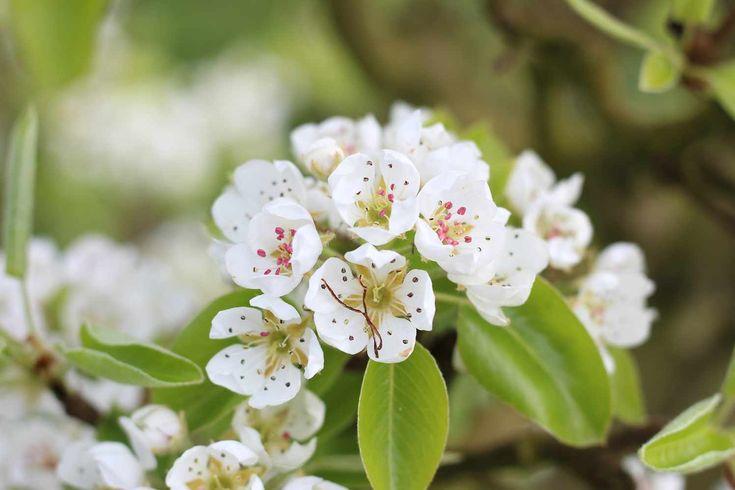 LISSERBROEK - De ruim 10.000 perenbomen op het landgoed Olmenhorst staan in de bloesem en snel zullen de ruim 40.000 appelbomen volgen. Op het oogstseizoen na de mooiste periode van de boomgaard én natuurlijk het begin van die heerlijke biologische appel of peer. Het hele landgoed kleurt prachtig wit/roze, een unieke ervaring die prachtige