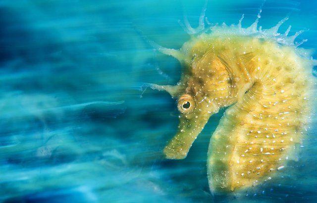 """Ödüllü sualtı fotoğrafları - Foto Galeri -  Davide Lopresti, Trieste'de çektiği """"Altın'' adlı denizatı fotoğrafı ile """"Uluslararası Makro"""" ödülü aldı"""