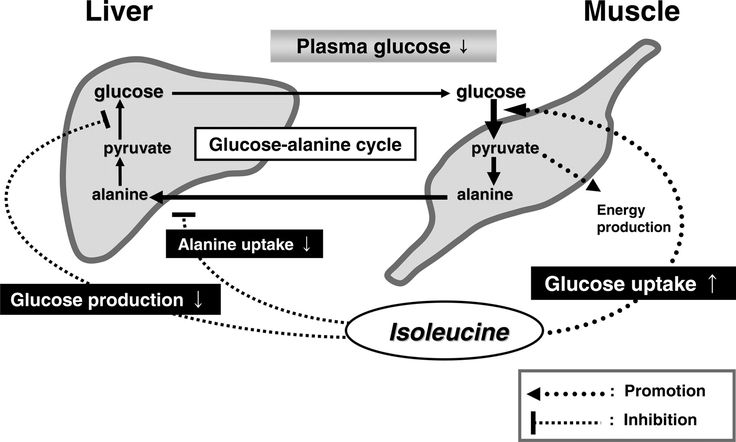 Glucose Metabolism Diagram Hypoglycemic effect of isoleucine involves increased muscle ...