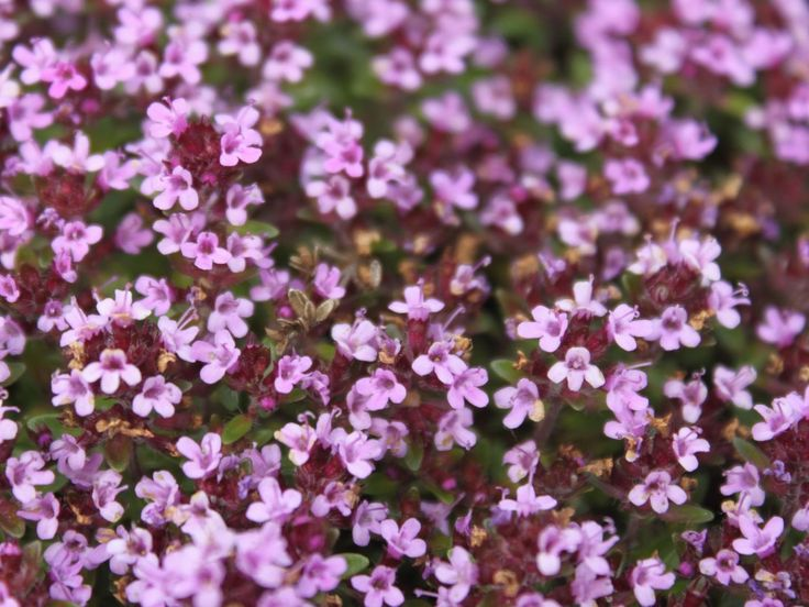 Thyme herb (Thýmus serpýllum) contains essential oils. The oils combined with alcohol can cause nausea and vomiting and thus prevent a person from drinking.  #thymus #serpyllum #coccineum #thymus #serpyllum #pink #chintz #thymus #serpyllum #alba #thymus #serpyllum #medicinal #uses