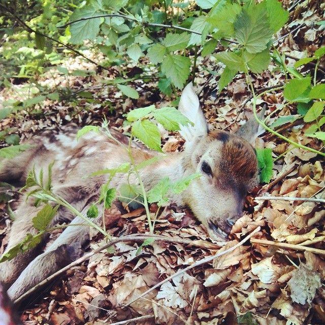 Cerbiatto ferito trovato in un #bosco.