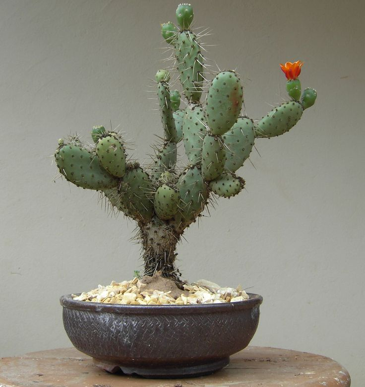 Cactum Bonsai! #creative #beauty