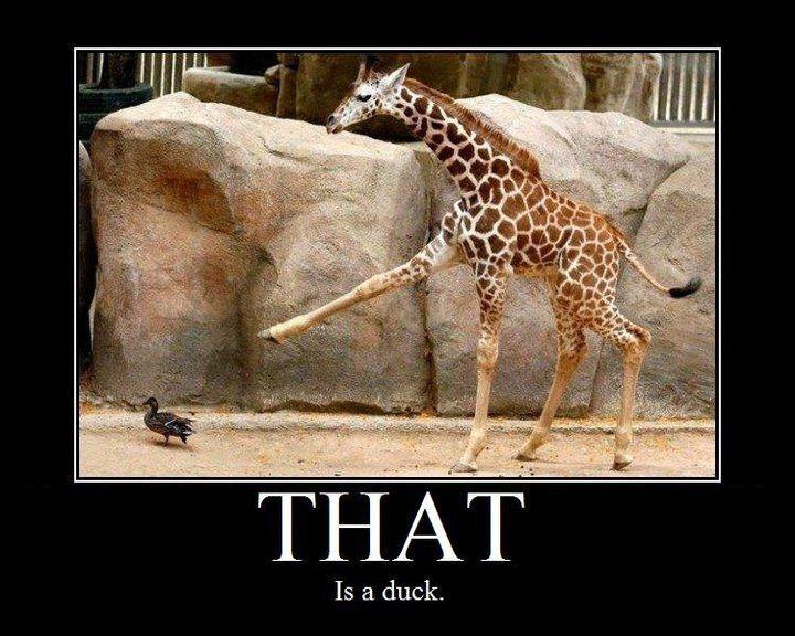 HA!: Giggle, Animals, Ducks, Funny Stuff, Funnies, Things, Funny Animal, Giraffes
