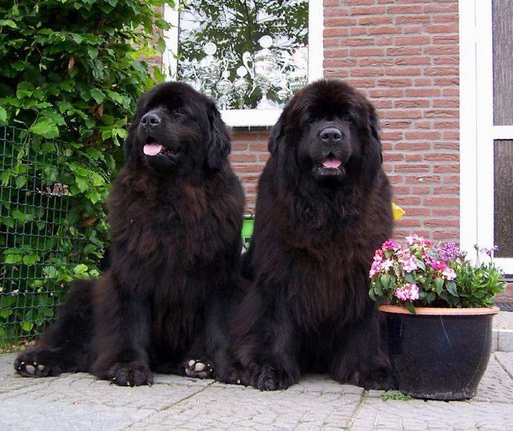 Twee Newfoundlander honden. (Teefjes)