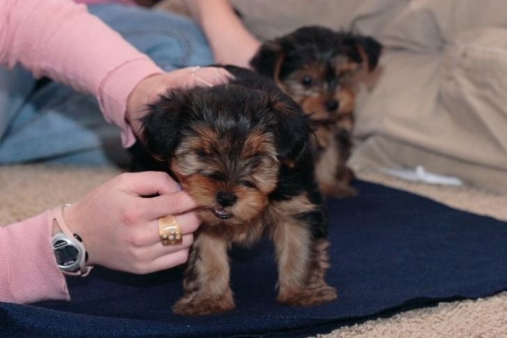 CUTE AND ADORABLE TEA CUP YORKIE PUPPIES FOR ADOPTION..