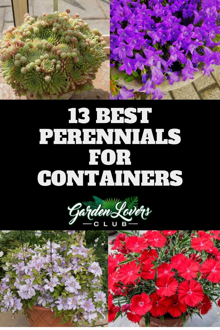 13 Best Perennials For Containers Best Perennials Container Gardening Vegetables Perennials
