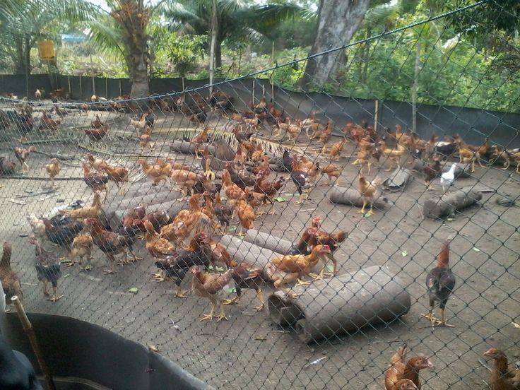 Peluang Usaha Ternak Ayam Kampung di Pedesaan Untung Melimpah