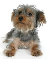 yorkie and shih tzu mix price best 25 yorkie shih tzu mix ideas on pinterest shorkie 2116