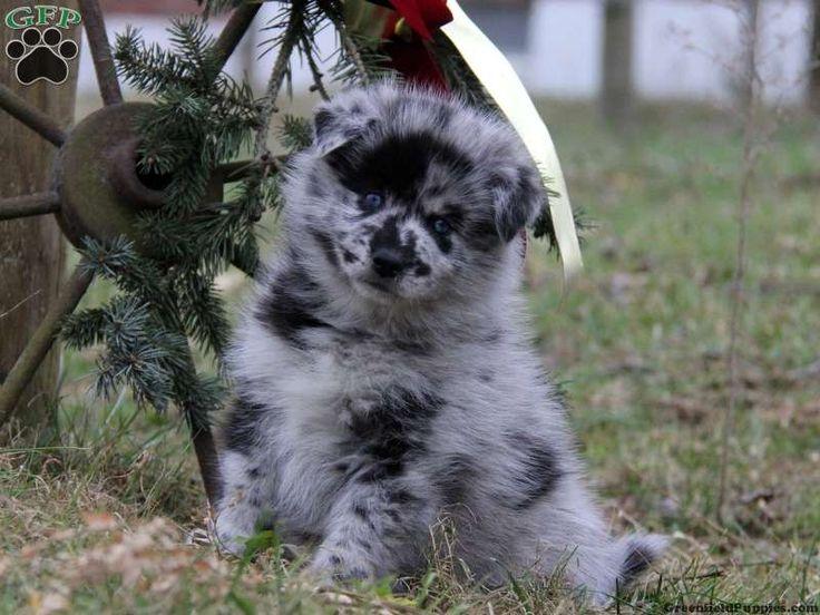 Winston, Pomsky puppy for sale in Gap, Pa