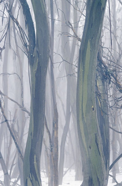 'National Geographic: A thicket of gum trees in a snowy winter landscape.' by National Geographic on artflakes.com as poster or art print $16.63