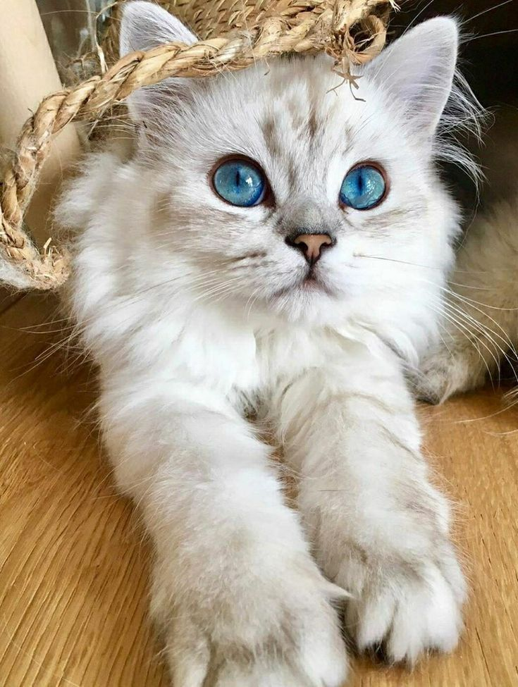 Fluffy White And Gray Cat With Blue Eyes Cute Cats And Kittens