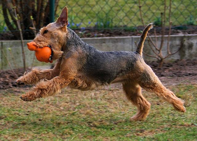 Resultado de imagen para Welsh Terrierr  犬   水泳