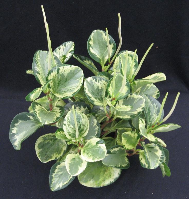 985 Best Variegated Plants Images On Pinterest Indoor