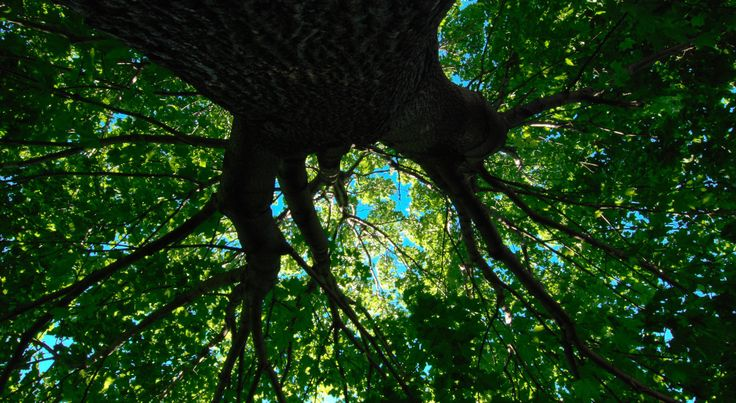 Under the maple