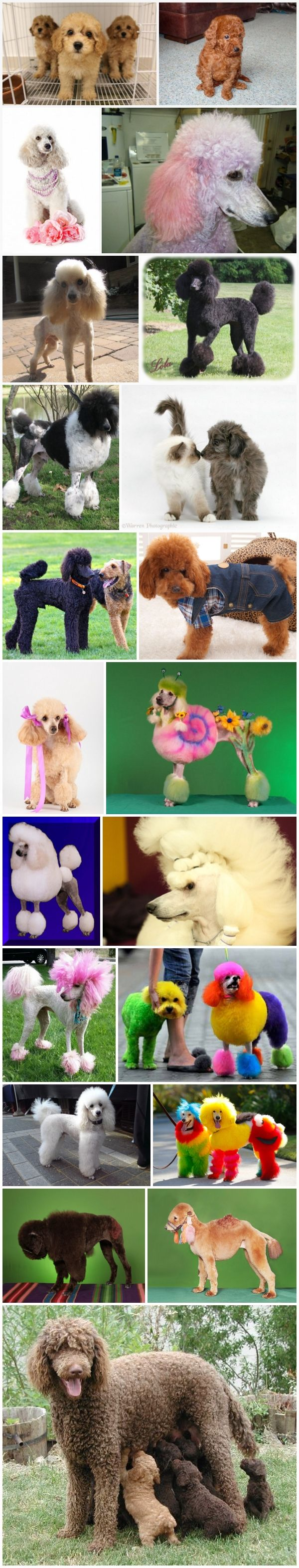 Top 21 Funny and cute poodles